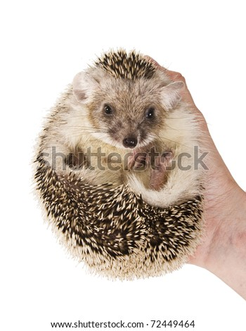 Hedgehog with large ears  in his hand. - stock photo