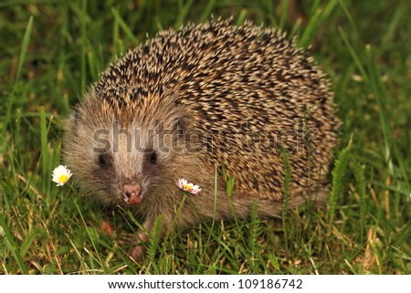 Hedgehog with two daisies