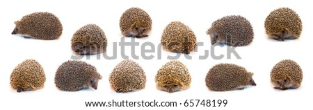 Hedgehogs isolated on a white background - stock photo