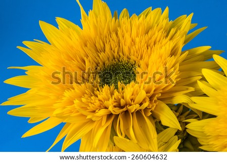 Helianthus or sunflowers in the family Asteraceae - stock photo