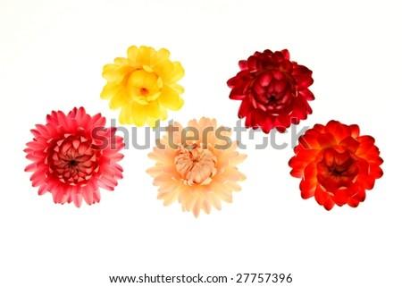 Helichrysum - stock photo