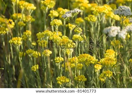 helichrysum arenarium immortelle background - stock photo
