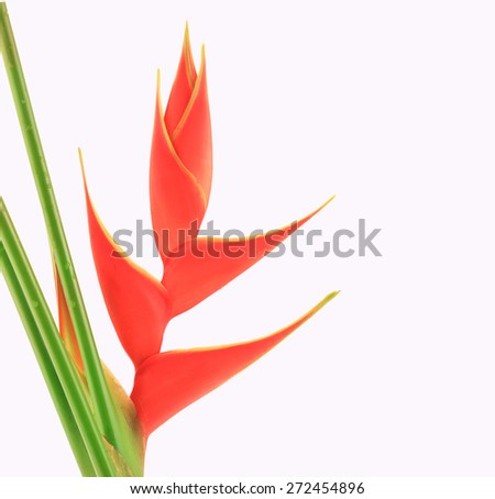 Heliconia flower isolated on white background. This has clipping path.  - stock photo