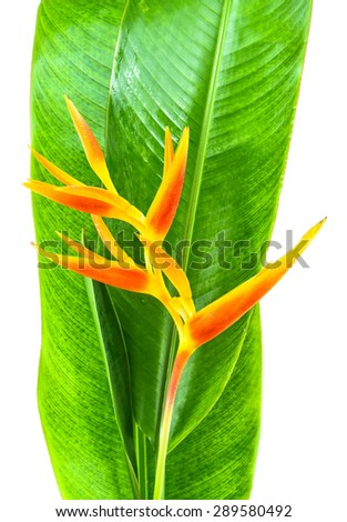 Heliconia flowers - stock photo