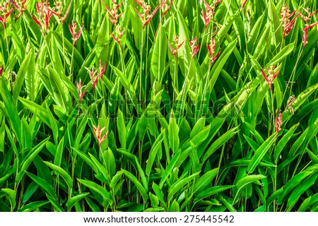 Heliconia psittacorum is a flowering and ornamental plants in garden - stock photo