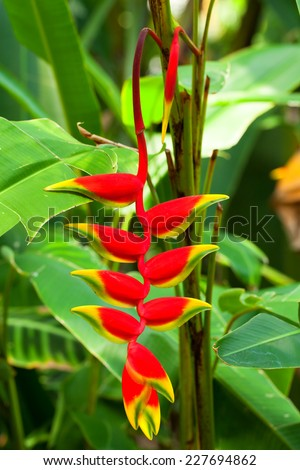 Heliconia rostrata, Heliconiaceae, Colombia - Bolivia   - stock photo
