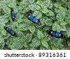 Heliconius doris butterflies in Mindo, Ecuadorian Andes - stock photo