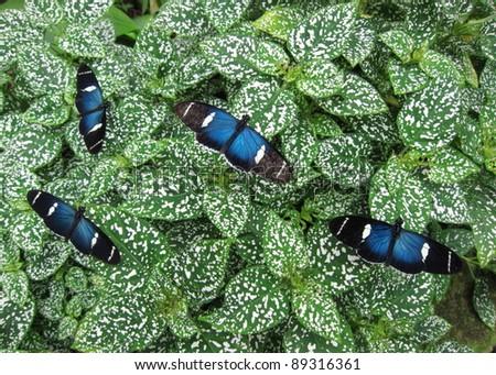 Heliconius doris butterflies in Mindo, Ecuadorian Andes - stock photo