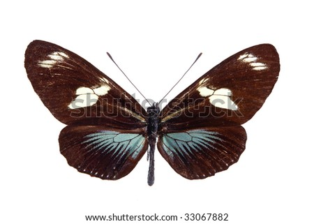 Heliconius Doris butterfly from Colombia, a longwing butterfly