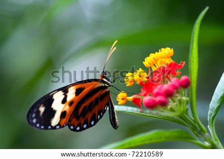 heliconius xanthocles longwing butterfly on a flower - stock photo