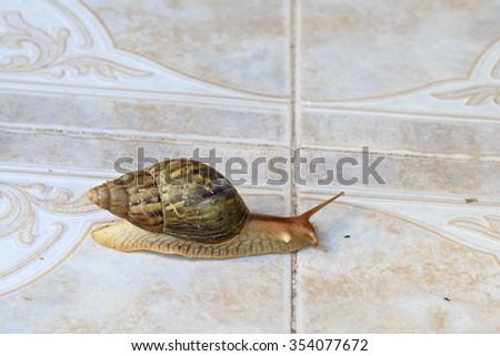 Helix pomatia, common names the Burgundy snail, Roman snail, edible snail or escargot - stock photo