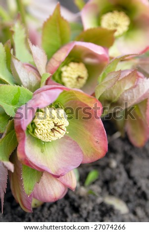 helleborus caucasians one of the first spring flowers - stock photo