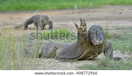 Hello from the Dragon. The  Komodo dragon, Varanus komodoensis, on island Rinca. Is the biggest living lizard in the world, Indonesia. - stock photo