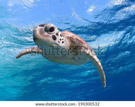 Hello there, whats up, sea turtle close up in Caribbean - stock photo