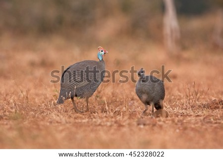 helmeted guineafowl, Kruger national park, SOuth Africa - stock photo