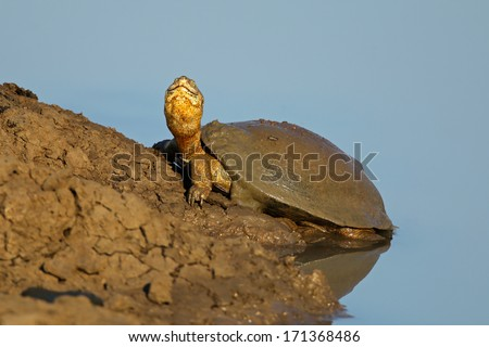 Helmeted terrapin (Pelomedusa subrufa) resting at the water edge, southern Africa - stock photo