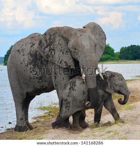 help! Chobe national park in Botswana - stock photo