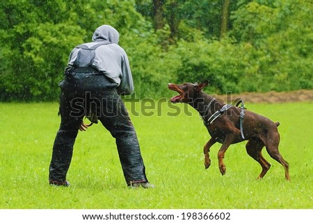 helper and angry brown Doberman pinscher in defense - stock photo