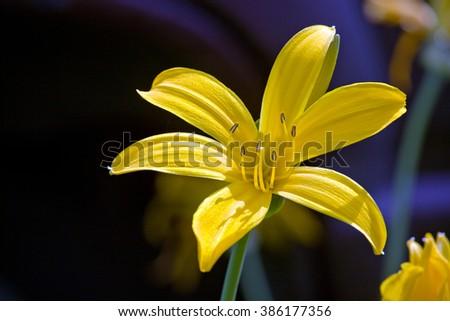 Hemerocallis yellow day-lily flower closeup on dark background - stock photo