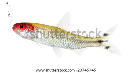 Hemigrammus bleheri fish in front of a white background - stock photo