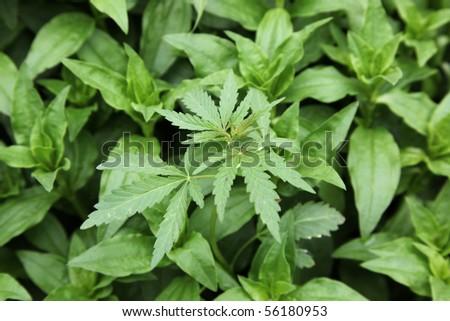 Hemp bush, small depth of sharpness - stock photo