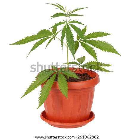 Hemp (cannabis) in a flowerpot on white background - stock photo