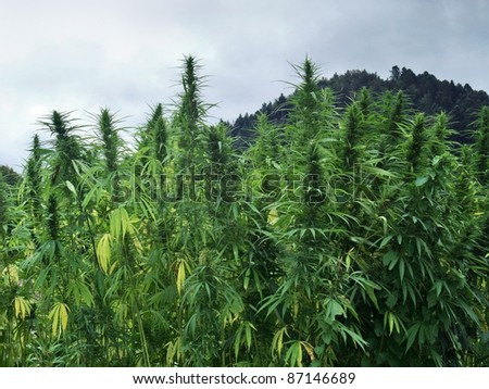 hemp field detail in cloudy ambiance - stock photo
