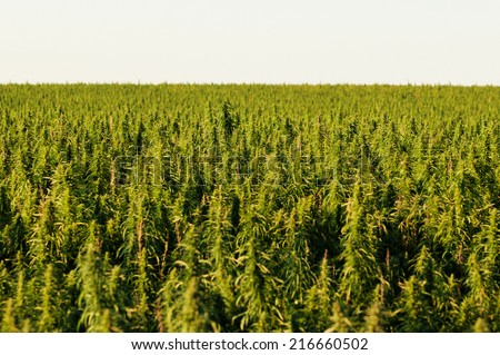 hemp field on the prairies - stock photo