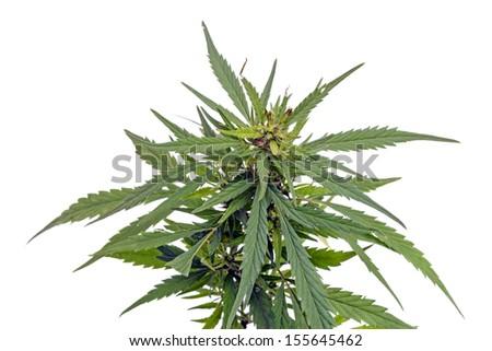 Hemp plant isolated on white background - stock photo