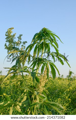 Hemp plants in the late afternoon sun showing the difference bet - stock photo