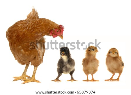 hen and chicks on a white background - stock photo