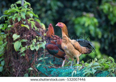 Hen Cockfight in nature,Thailand
