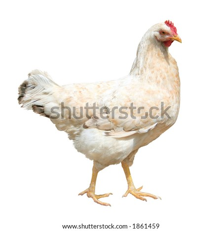 hen, isolated on white - stock photo