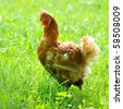 hen on field - stock photo