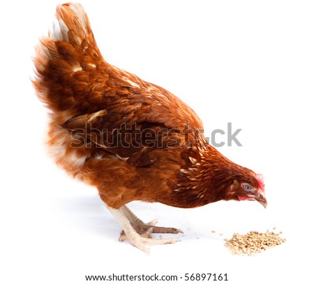 Hen  stand in studio against a white background. - stock photo