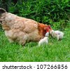 Hen with chickens - stock photo
