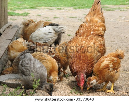 Hen with chickens eating the grain . Mommy and babies. - stock photo