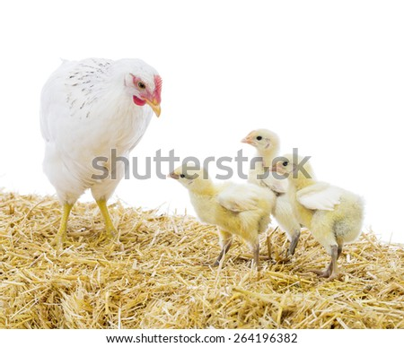 Hen with chicks on bale of hay - stock photo