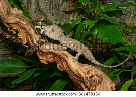 Henkel's leaf-tailed gecko (Uroplatus henkeli) eating an insect - stock photo