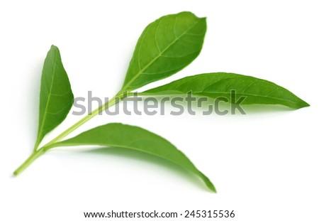 Henna leaves over white background - stock photo