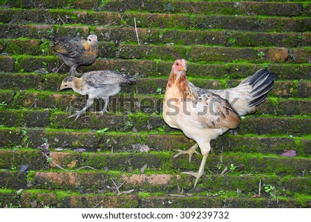 Hens and chicks standing on a brick wall. - stock photo