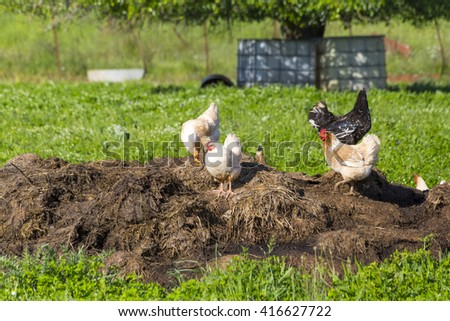 hens, cock,  distance, looking at - stock photo