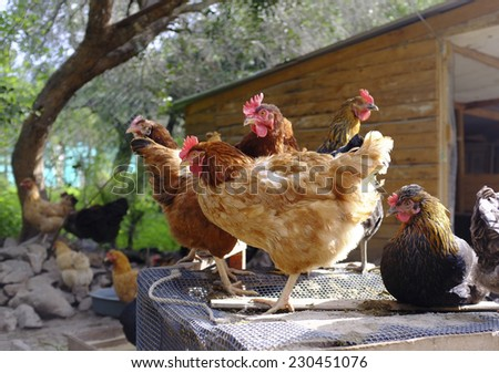 hens criollo kennel in rural farm - stock photo