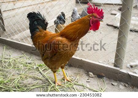 hens criollo kennel in rural farm - stock photo
