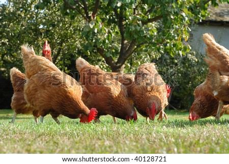 Hens  in the farm - stock photo
