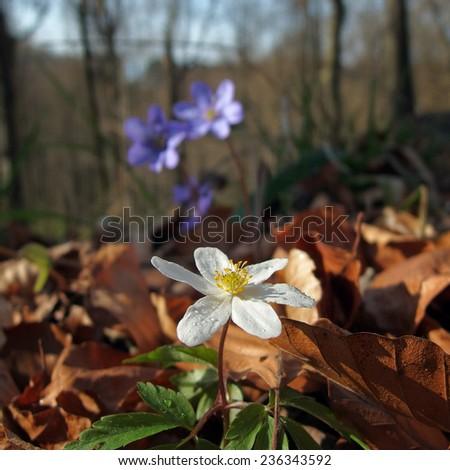 Hepatica nobilis -  Anemone hepatica and Anemone nemorosa - stock photo