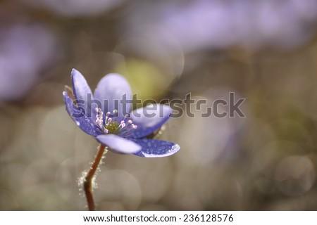 Hepatica nobilis - Common Hepatica, Anemone hepatica - stock photo