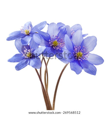 Hepatica nobilis on a white background. Spring flowers. - stock photo