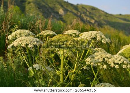 Heracleum flowers in natural habitat - stock photo