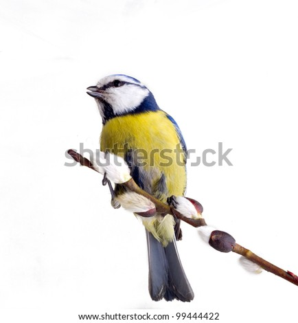 Herald of spring - titmouse bird on tree branches on white background. praise spring song. Blue tit Parus caeruleus. Yew Sunday. Twig of willow, willow catkins